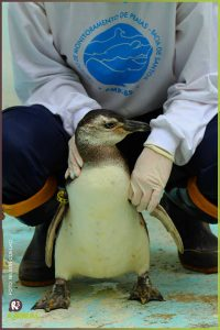 Pinguim sendo tratado no CePRAM | Foto: Nilson Coelho